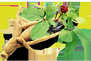 Ginseng plante favorisant la sexualité de l'homme.